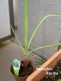 20090608hg_10lemongrass.jpg